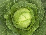 Растения для приготовления инфуза, масляного экстракта, отвара.